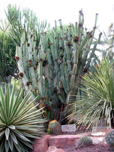 Vista del Cereus peruvianus