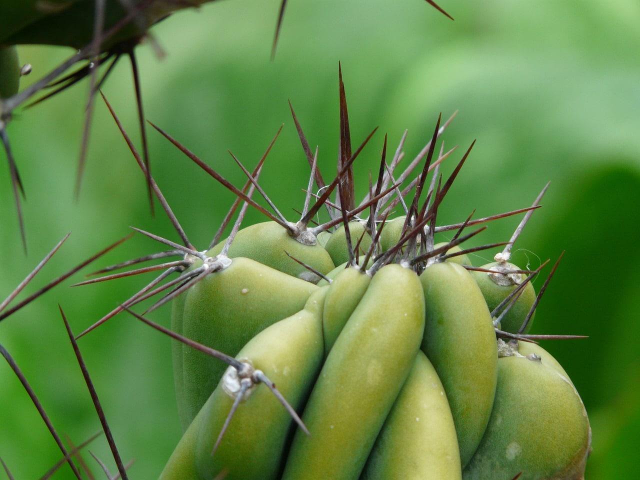 Los Cereus son cactus columnares o arbustivos