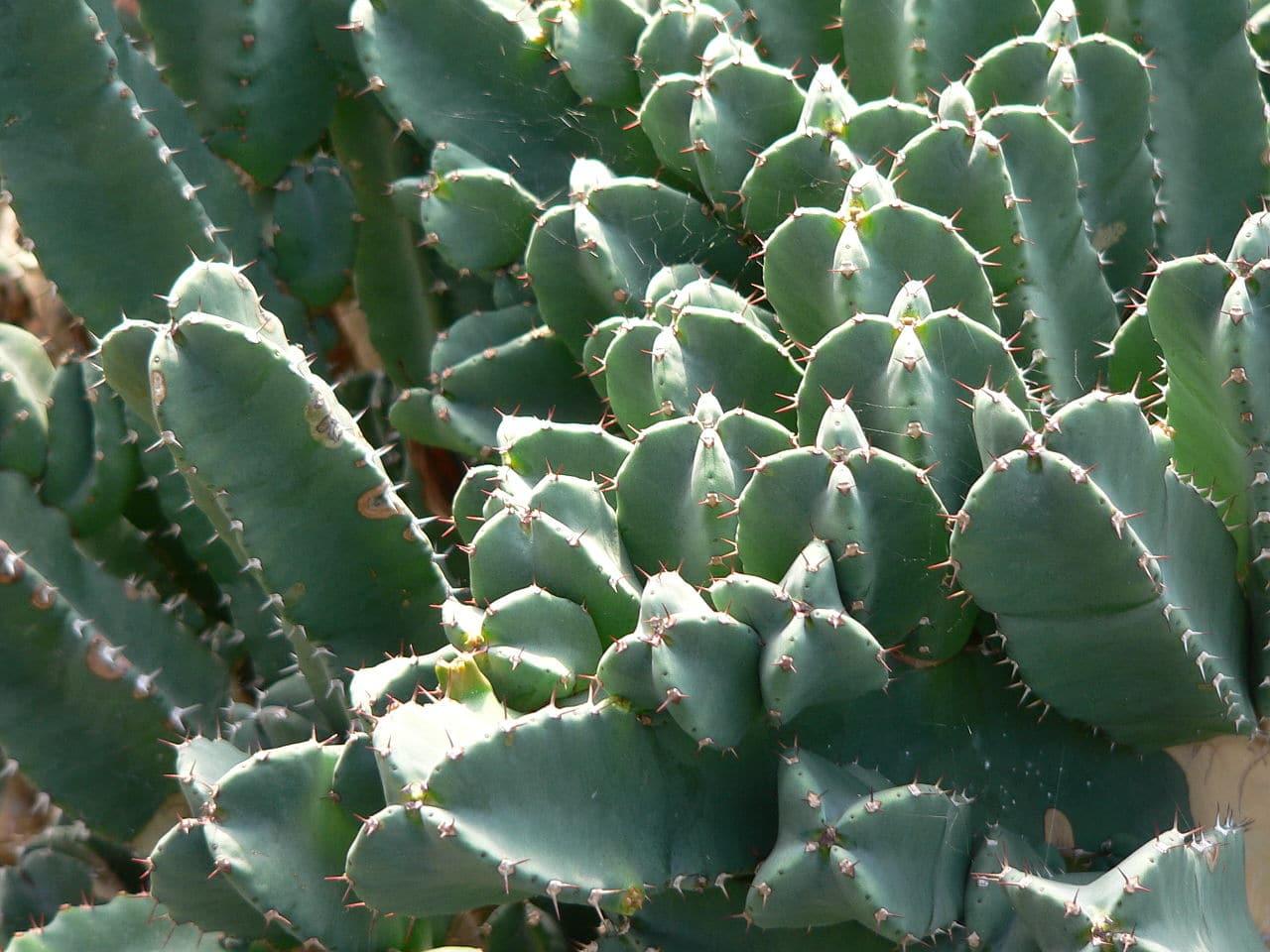 La Euphorbia resinifera es una suculenta