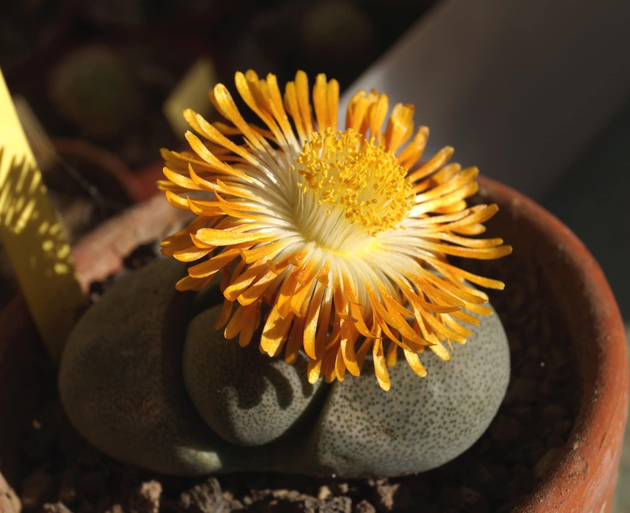 Vista del Pleiospilos nelii en flor
