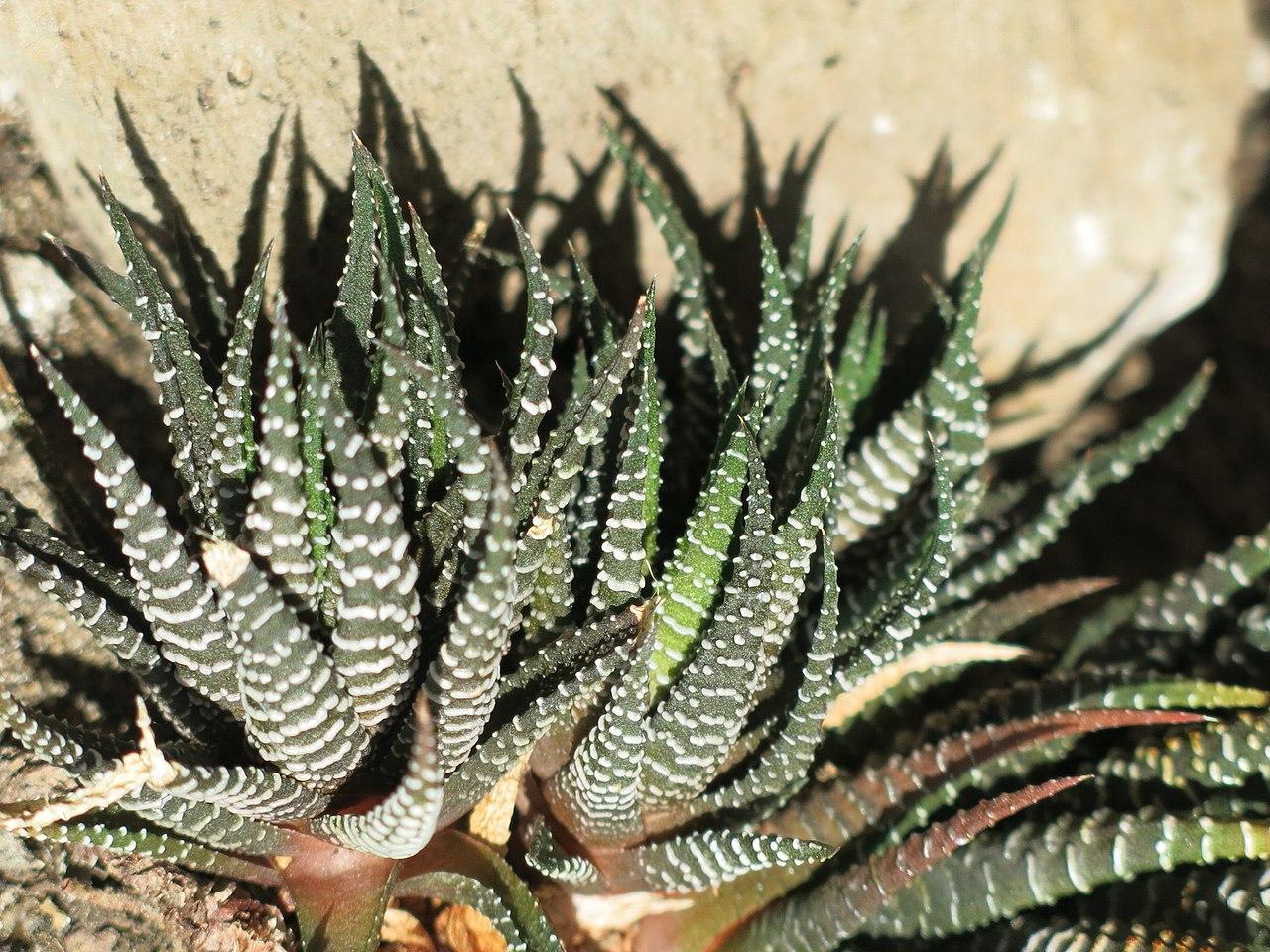 La Haworthia fasciata produce numerosos hijuelos