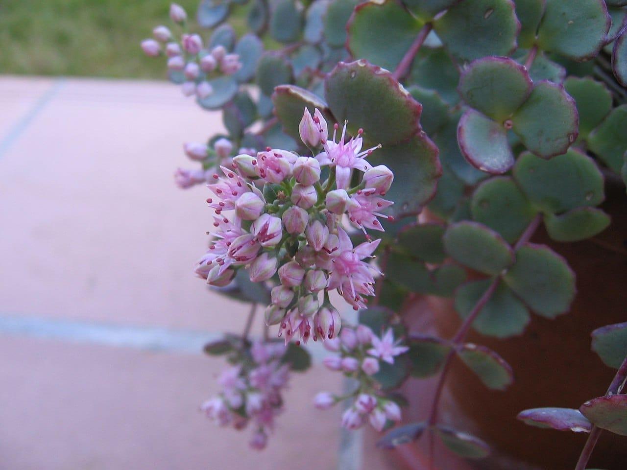 Las flores del Sedum sieboldii son rosas