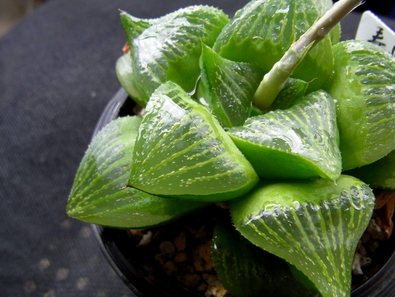 La Haworthia retusa es una crasa perenne