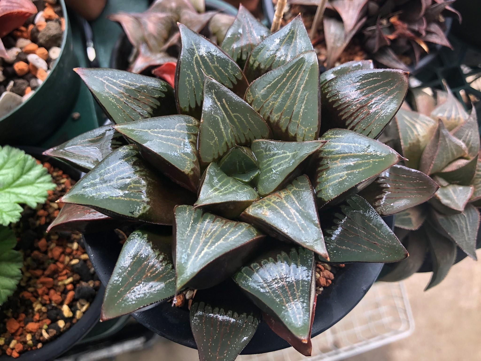 La Haworthia retusa es una suculenta de fácil mantenimiento