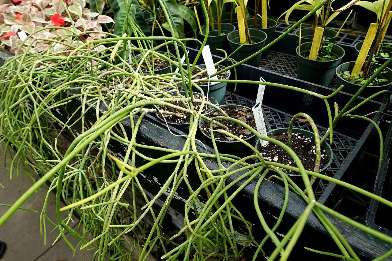 El Rhipsalis baccifera es un tipo de cactus colgante
