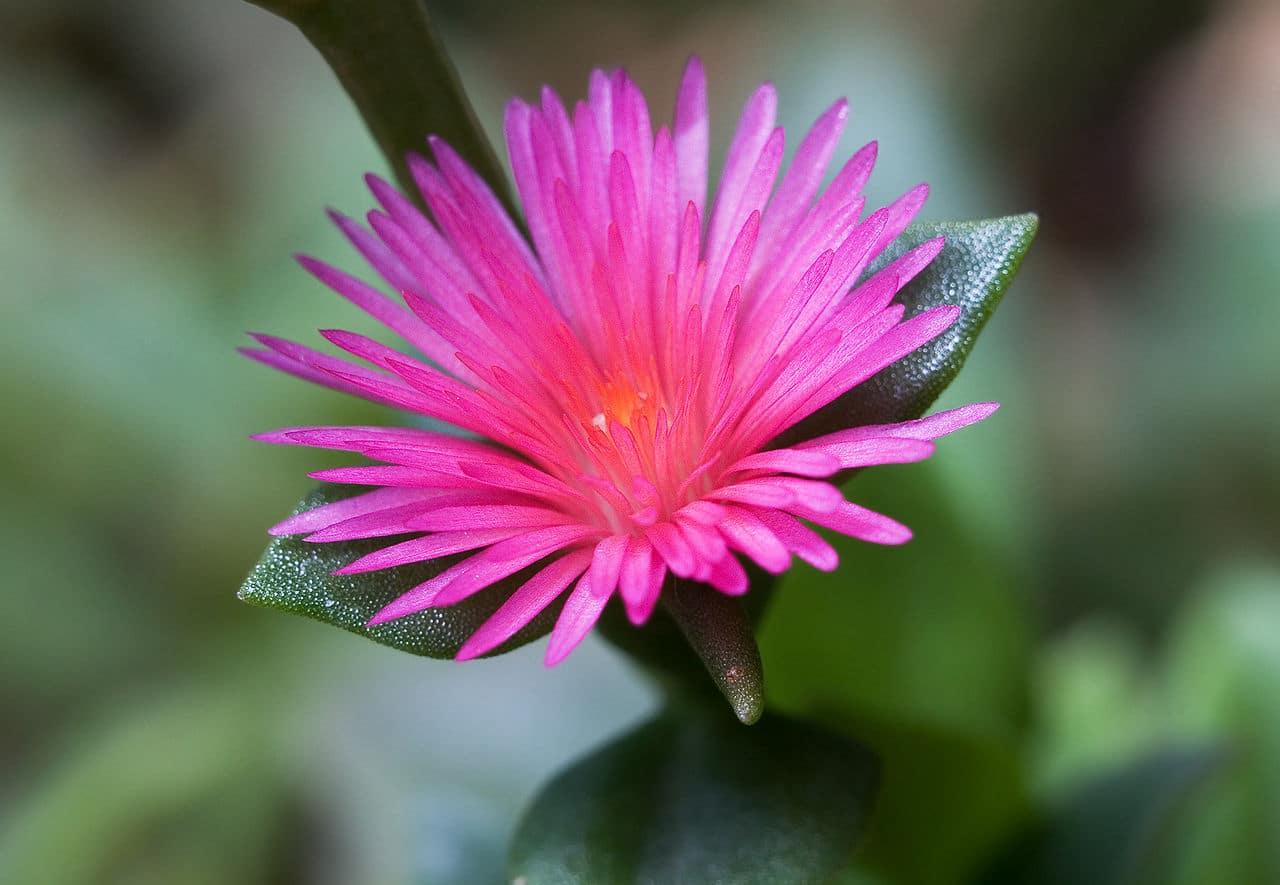 La flor de la Aptenia cordifolia es pequeña