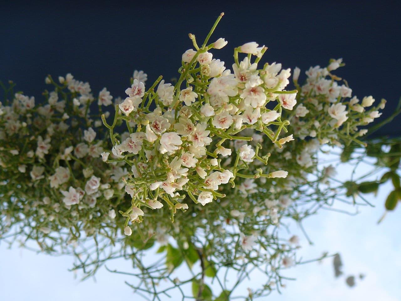 Las flores del Rhipsalis cereuscula son blancas