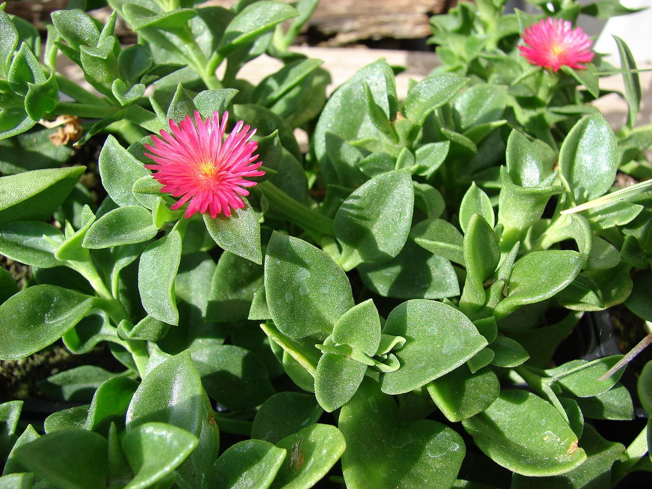 La Aptenia florece durante buena parte del año