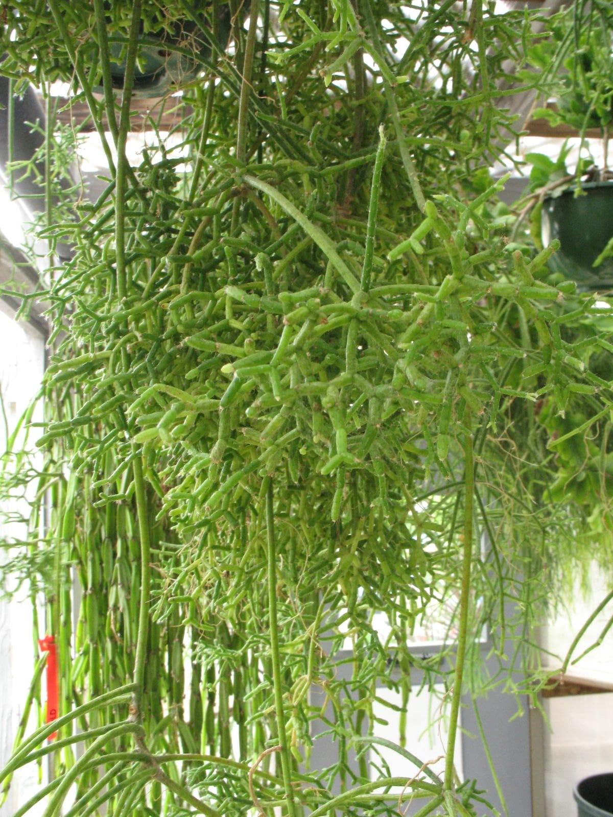 El Rhipsalis cereuscula es un cactus que vive varios años