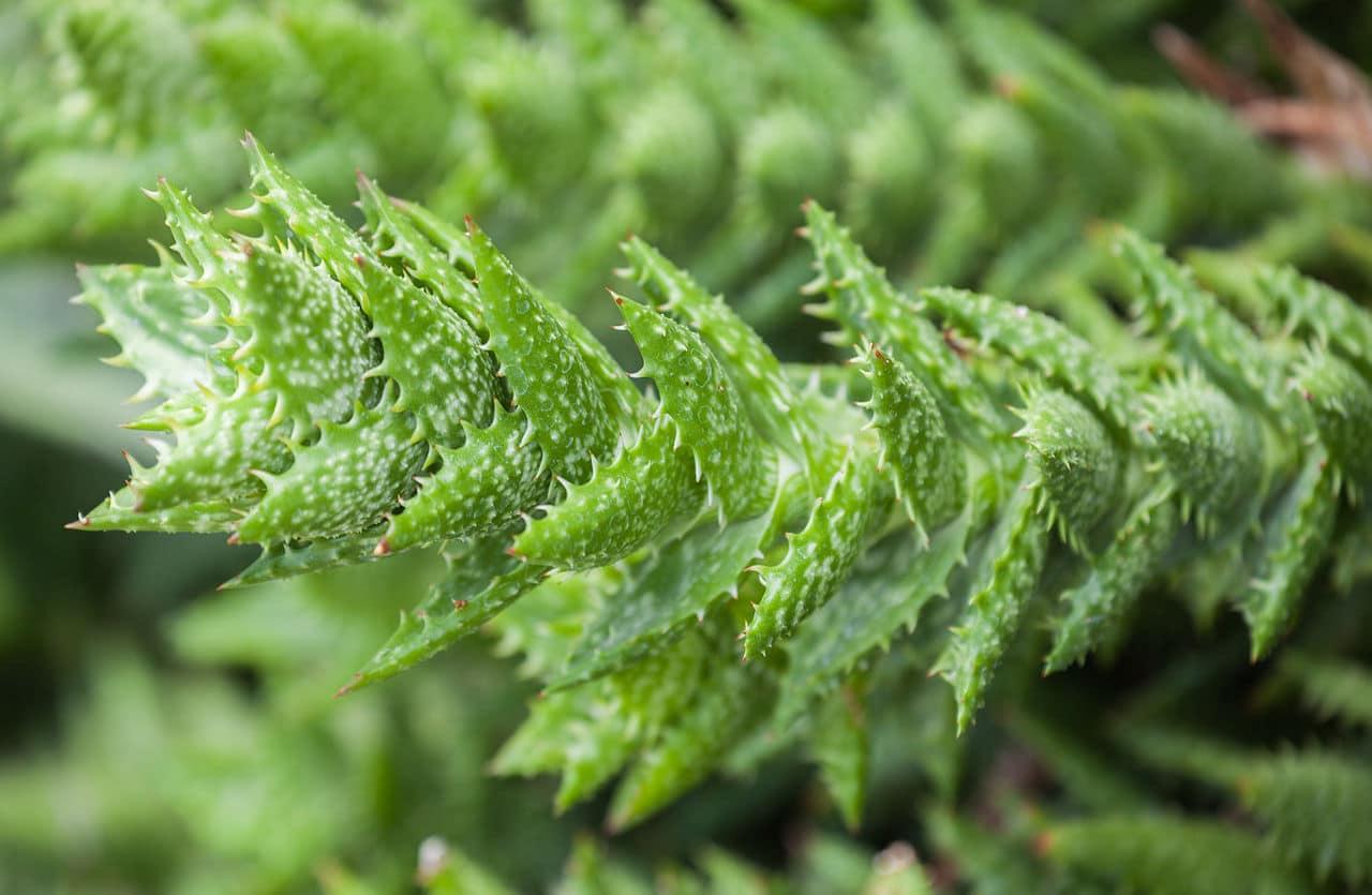 El Aloe juvenna tiende a ser rastrero