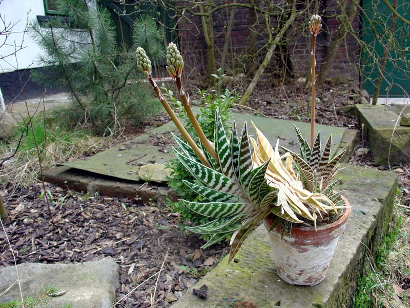 El Aloe variegata es una planta relativamente pequeña