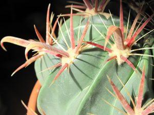 El Ferocactus latispinus es un cactus que tiene espinas muy largas