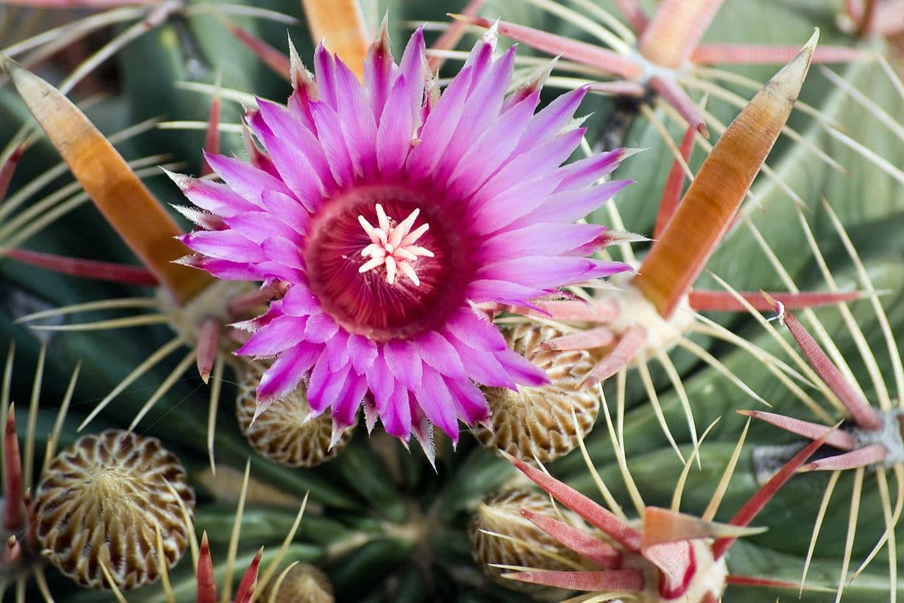 La flor del Ferocactus latispinus es rosada