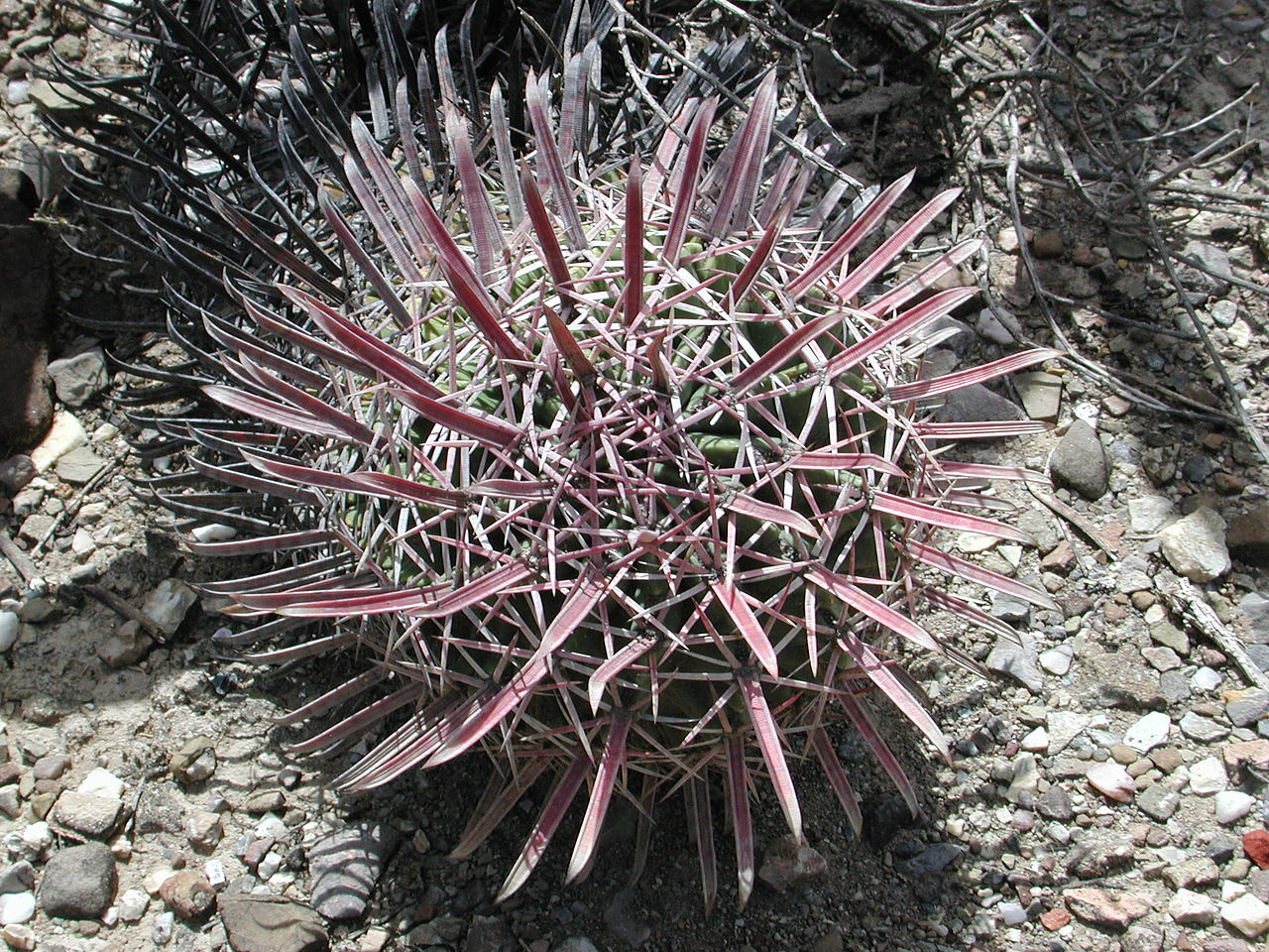 El Ferocactus latispinus es un cactus globular