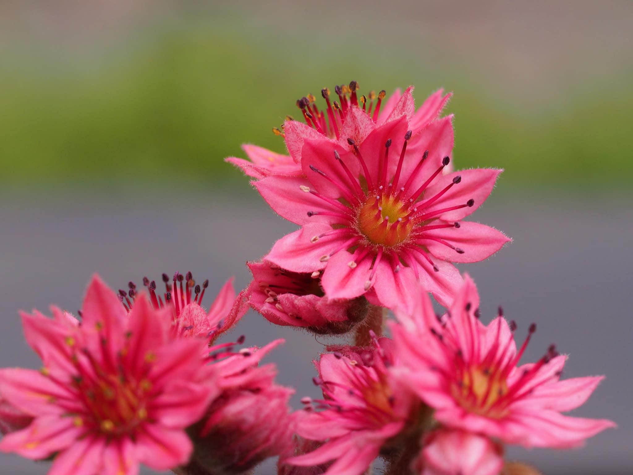 Las flores de la planta araña son rojizas