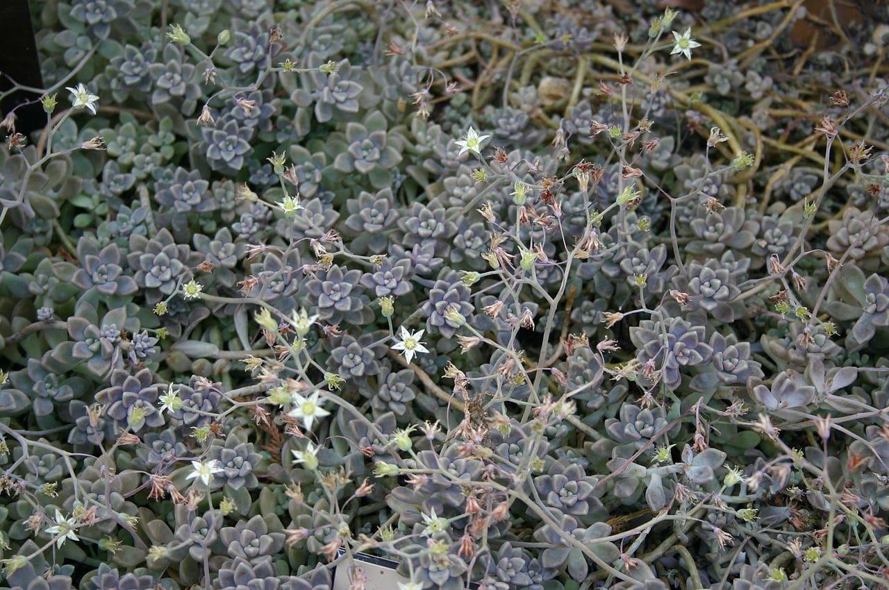 El Graptopetalum mendozae tiene las hojas muy pequeñas