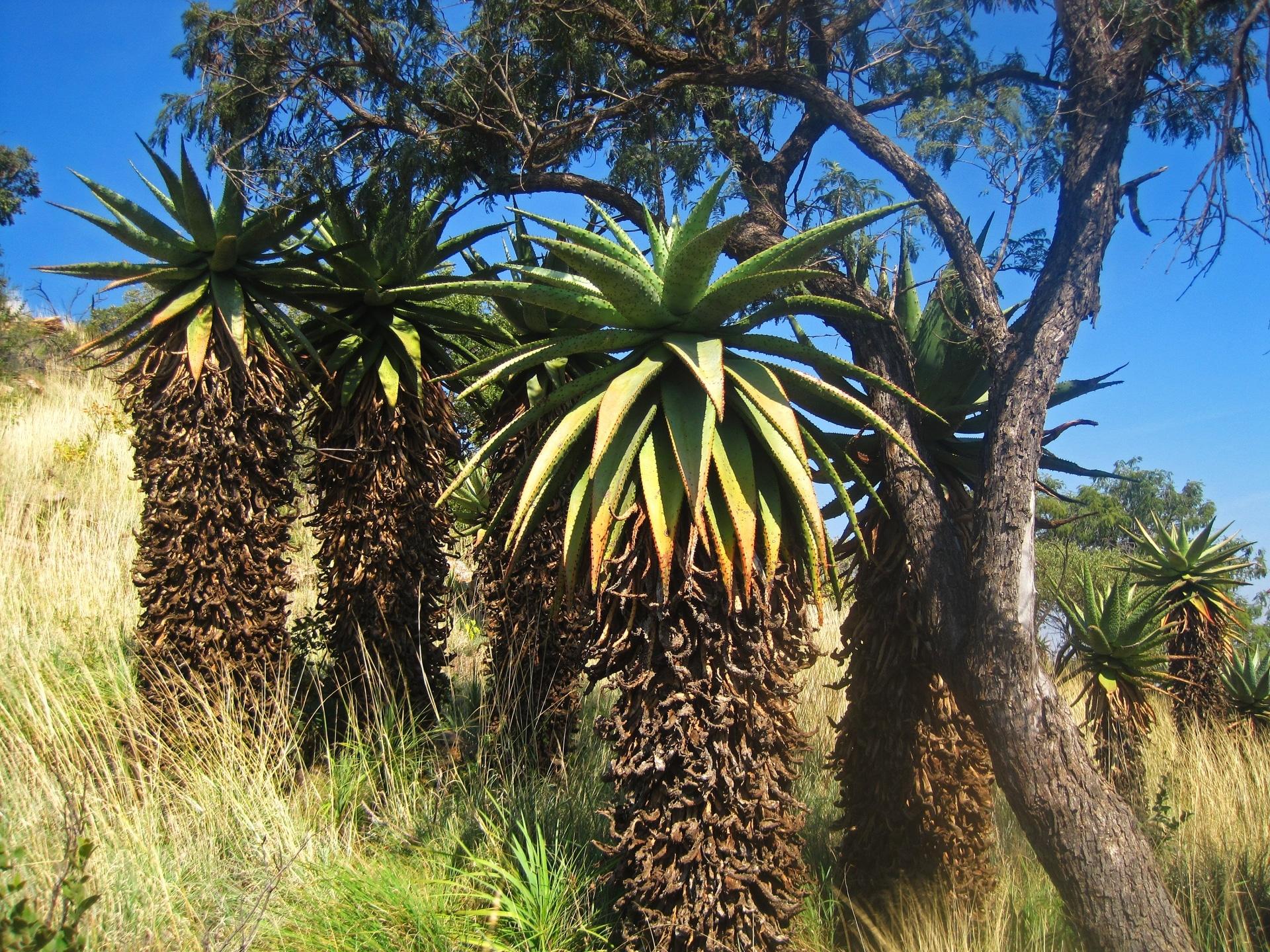 El áloe de montaña es una planta grande