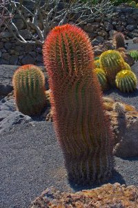 La biznaga de barril es un cactus con espinas rojas