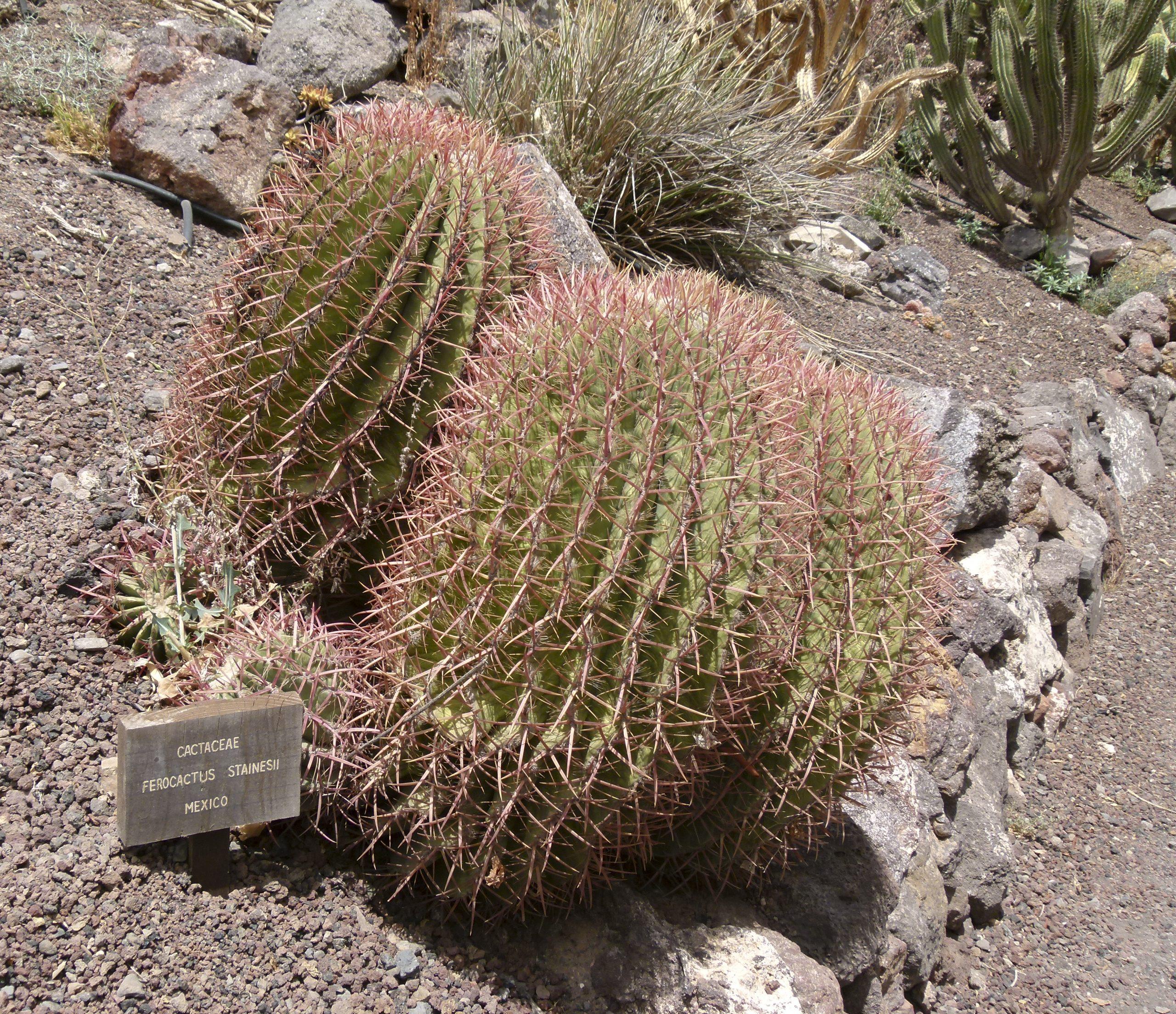 El Ferocactus stainesii es un cactus globular