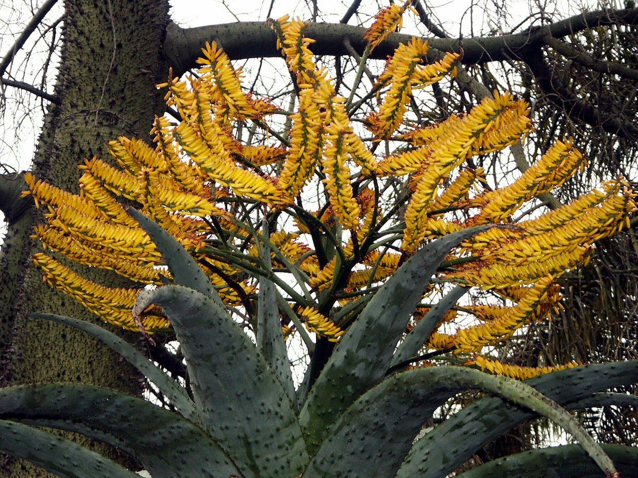 Las flores del Aloe marlothii son amarillas