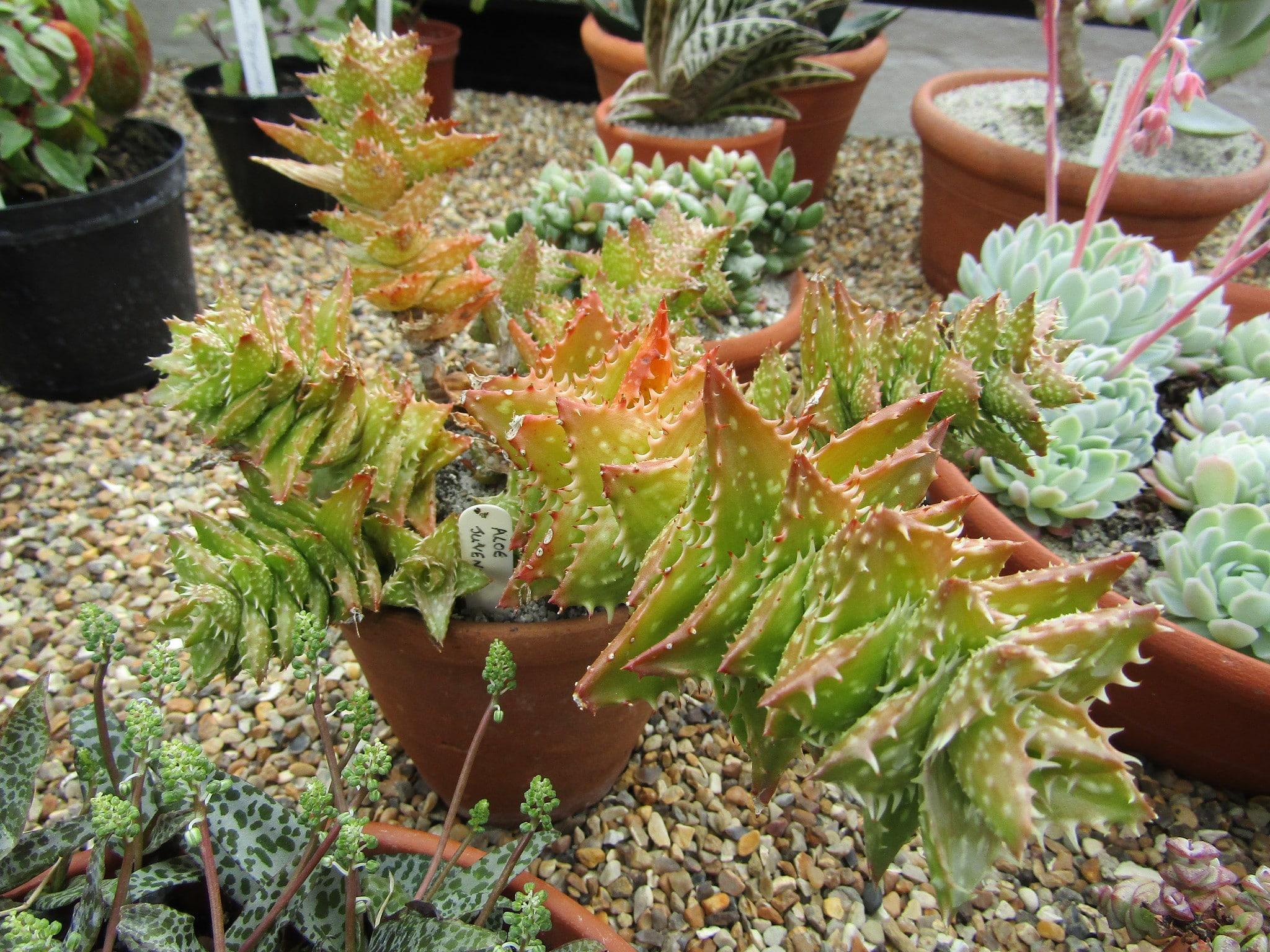 El Aloe juvenna es una suculenta