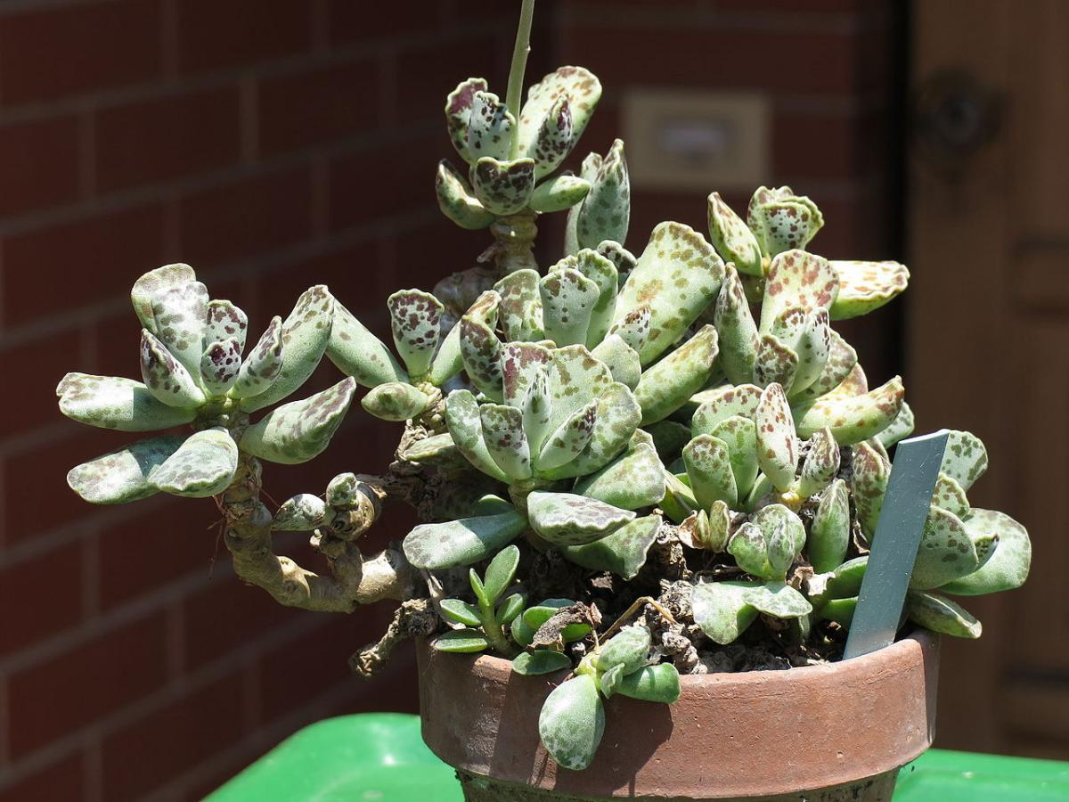 Los Adromischus son plantas crasas