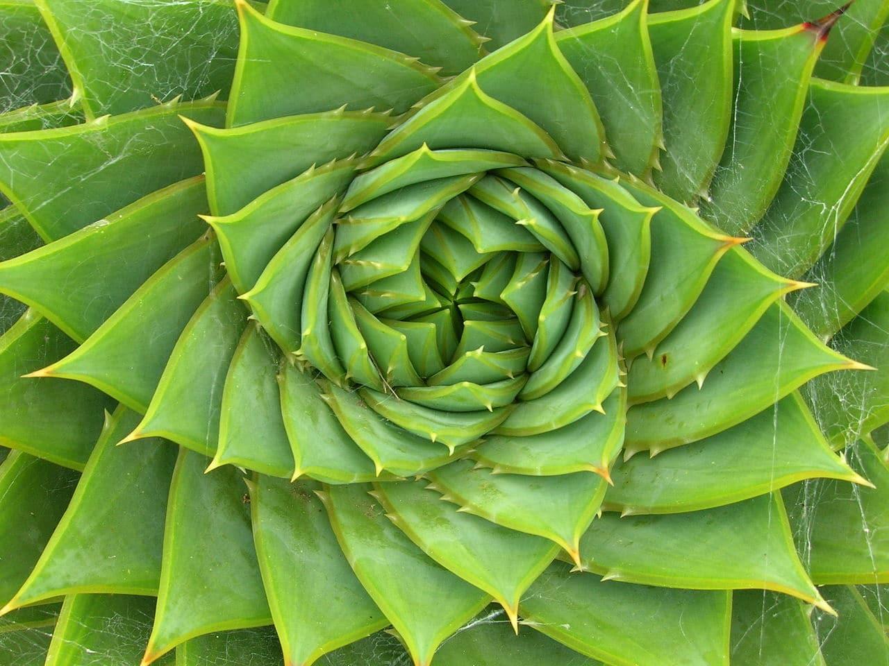 El Aloe polyphylla es una suculenta mediana