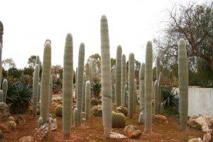 Cephalocereus senilis se ve muy bonito en un jardín