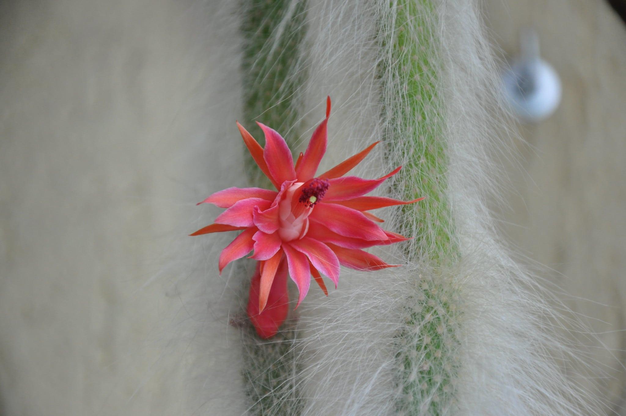 El cactus cola de mono es colgante
