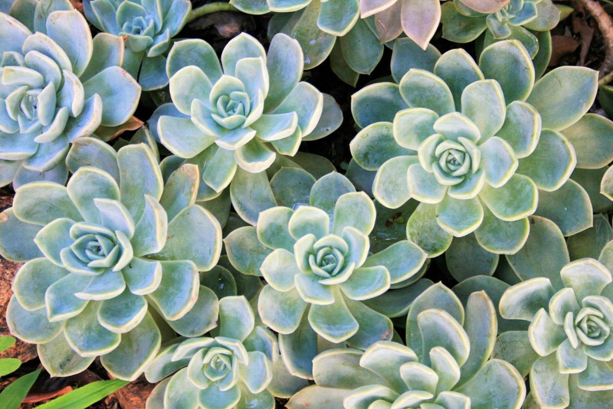 Las Echeveria son crasuláceas perennes
