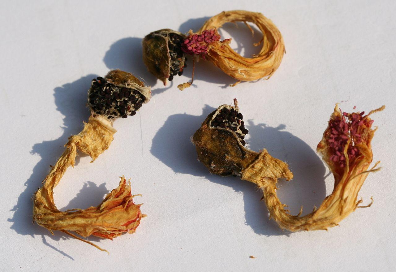 El cactus cola de mono se multiplica por semillas