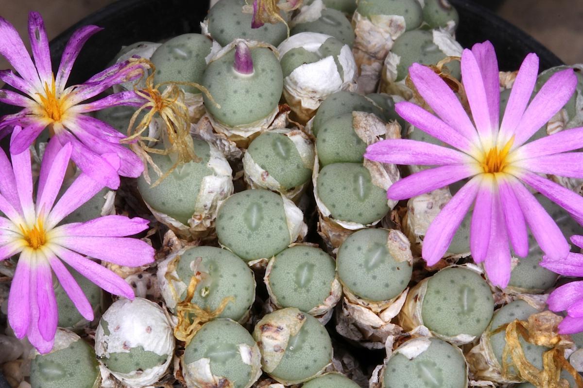 El Conophytum minutum es una planta suculenta con flores lilas