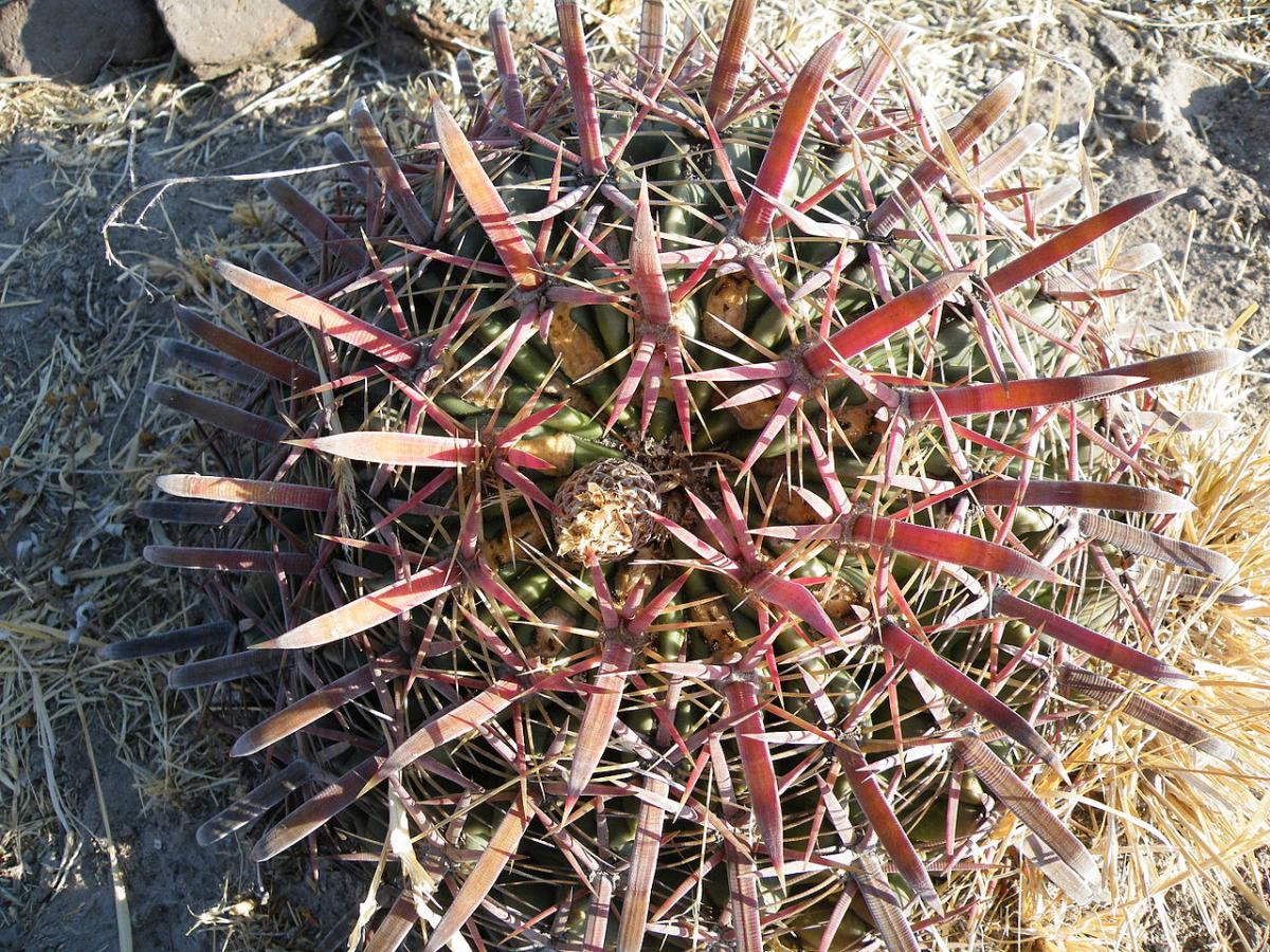 Vista del Ferocactus latispinus