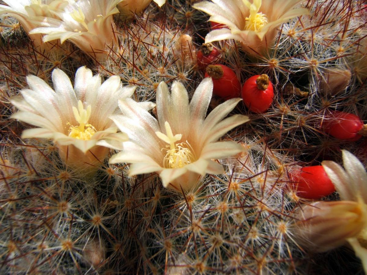 La Mammillaria prolifera es un cactus pequeño