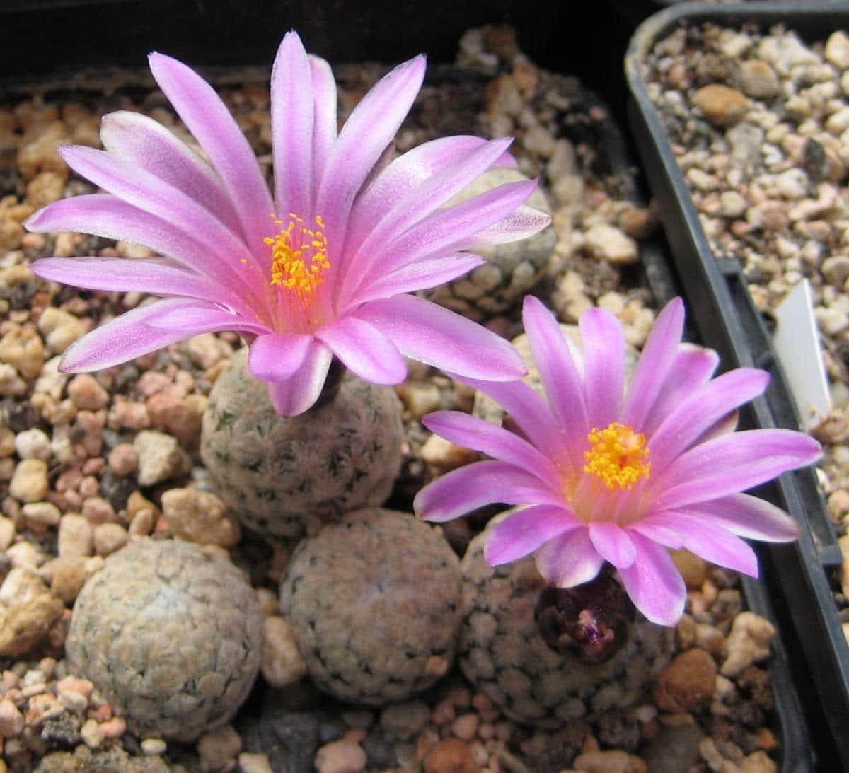 El Turbinicarpus valdezianus es una planta suculenta con flor rosa