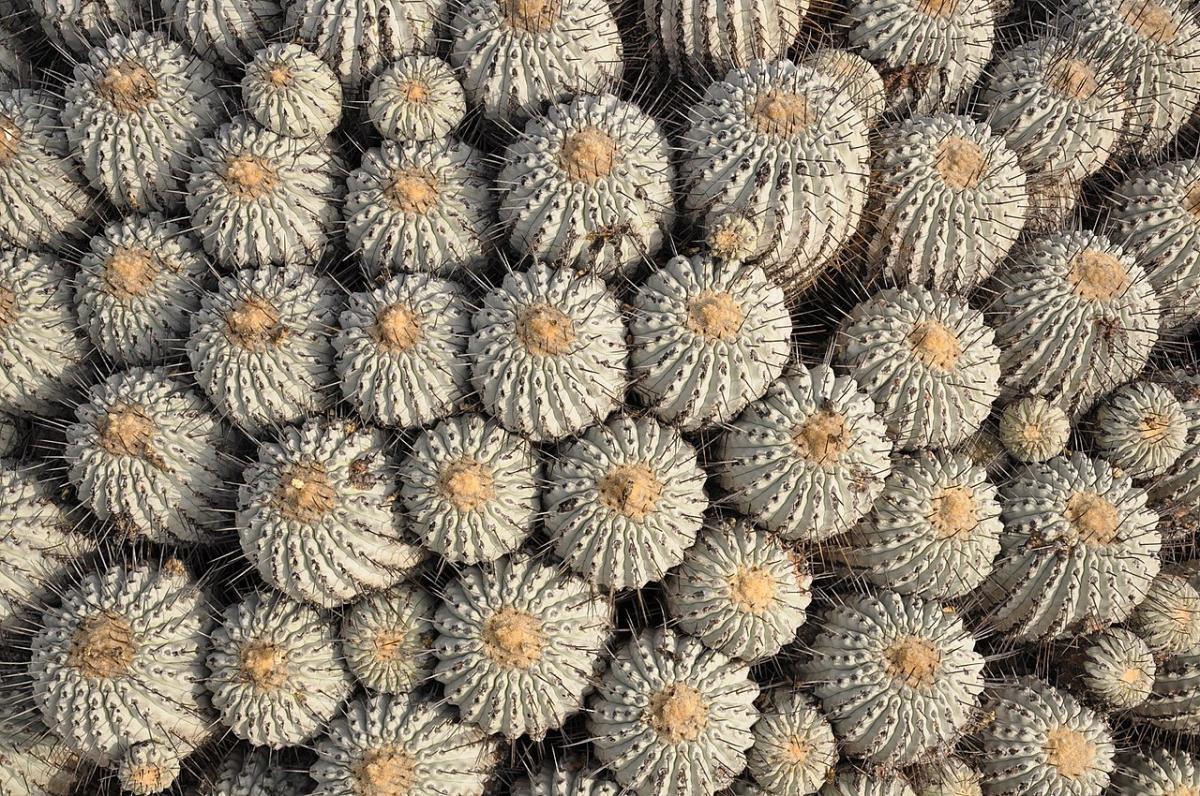 La Copiapoa dealbata es un cactus que forma grupos