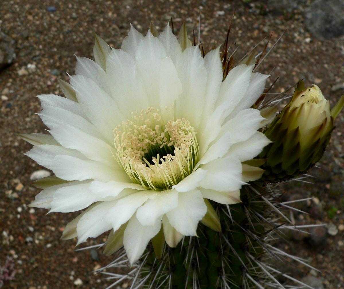 El Echinopsis chiloensis es un cactus columnar