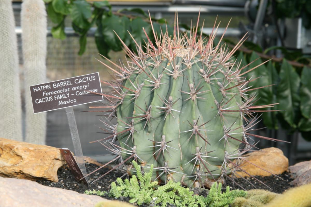 Vista de Ferocactus emoryi