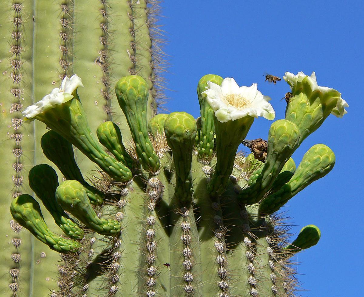 El saguaro es un cactus columnar que produce flores blancas
