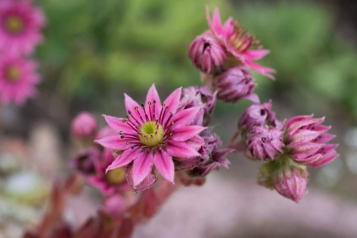 Las crasas producen flores bonitas
