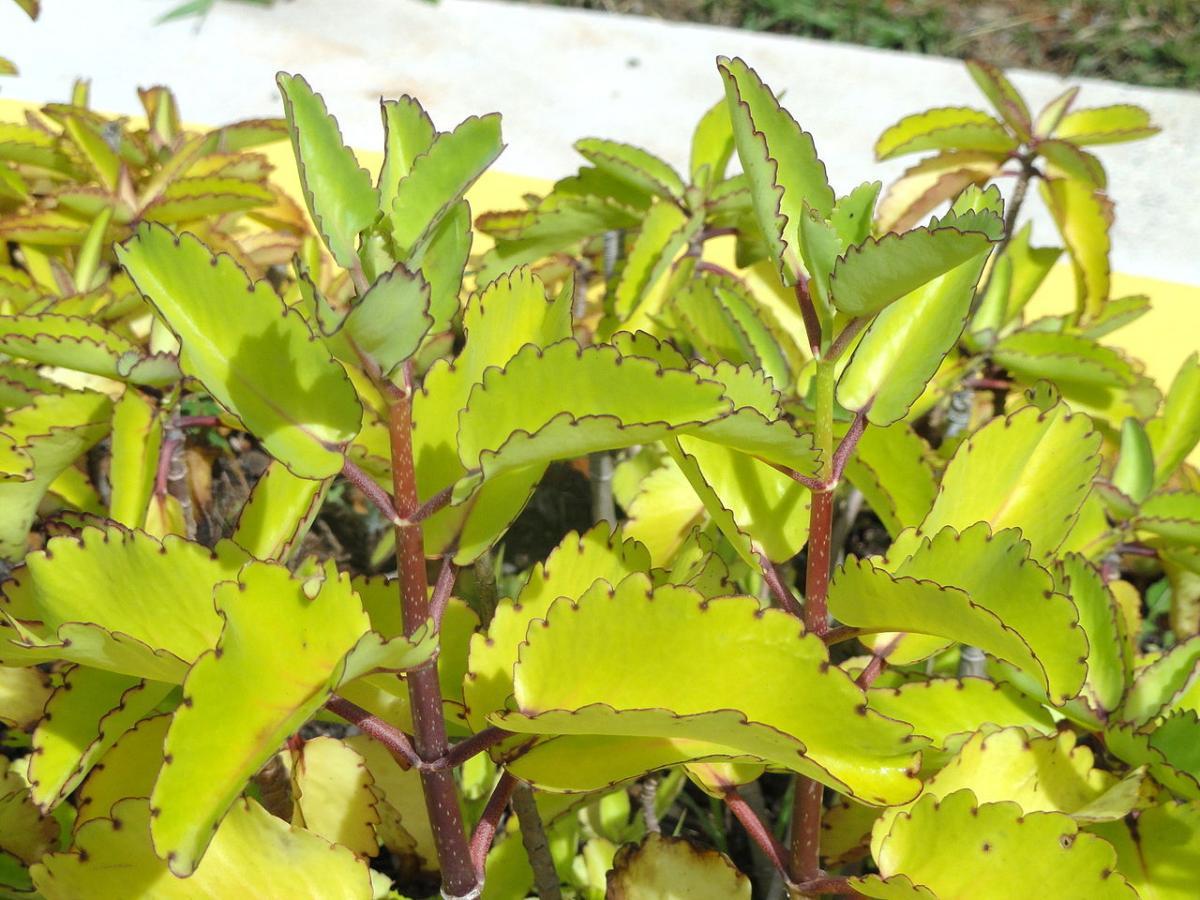 El Kalanchoe pinnata es una suculenta que quiere sol