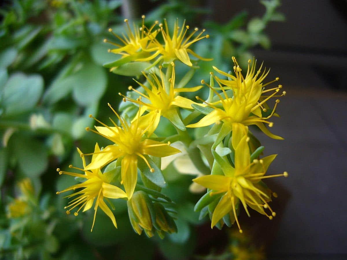 El Sedum palmeri es una crasa colgante que produce flores amarillas