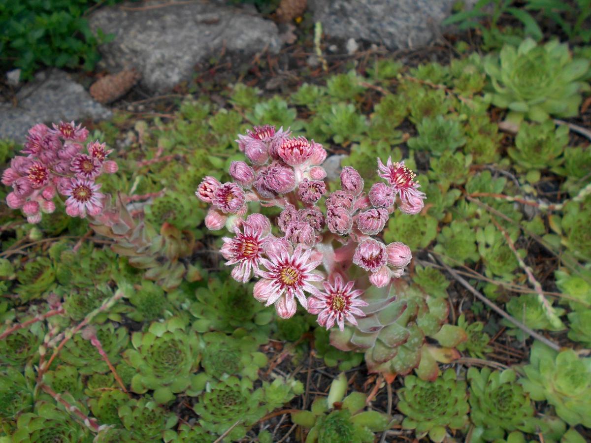 El Sempervivum es una planta suculenta con flor que puedes tener en maceta