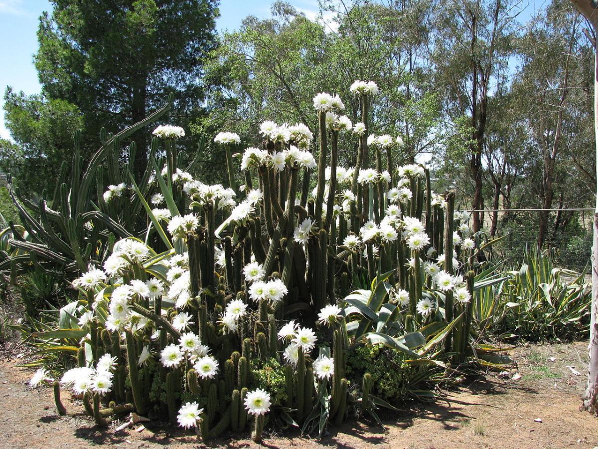 Vista del Echinopsis spachiana