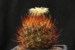 Vista del Erriosyce bulbocalyx en flor