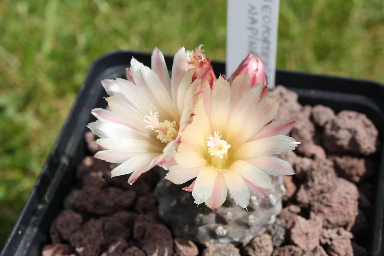 La Eriosyce napina da flores de colores claros
