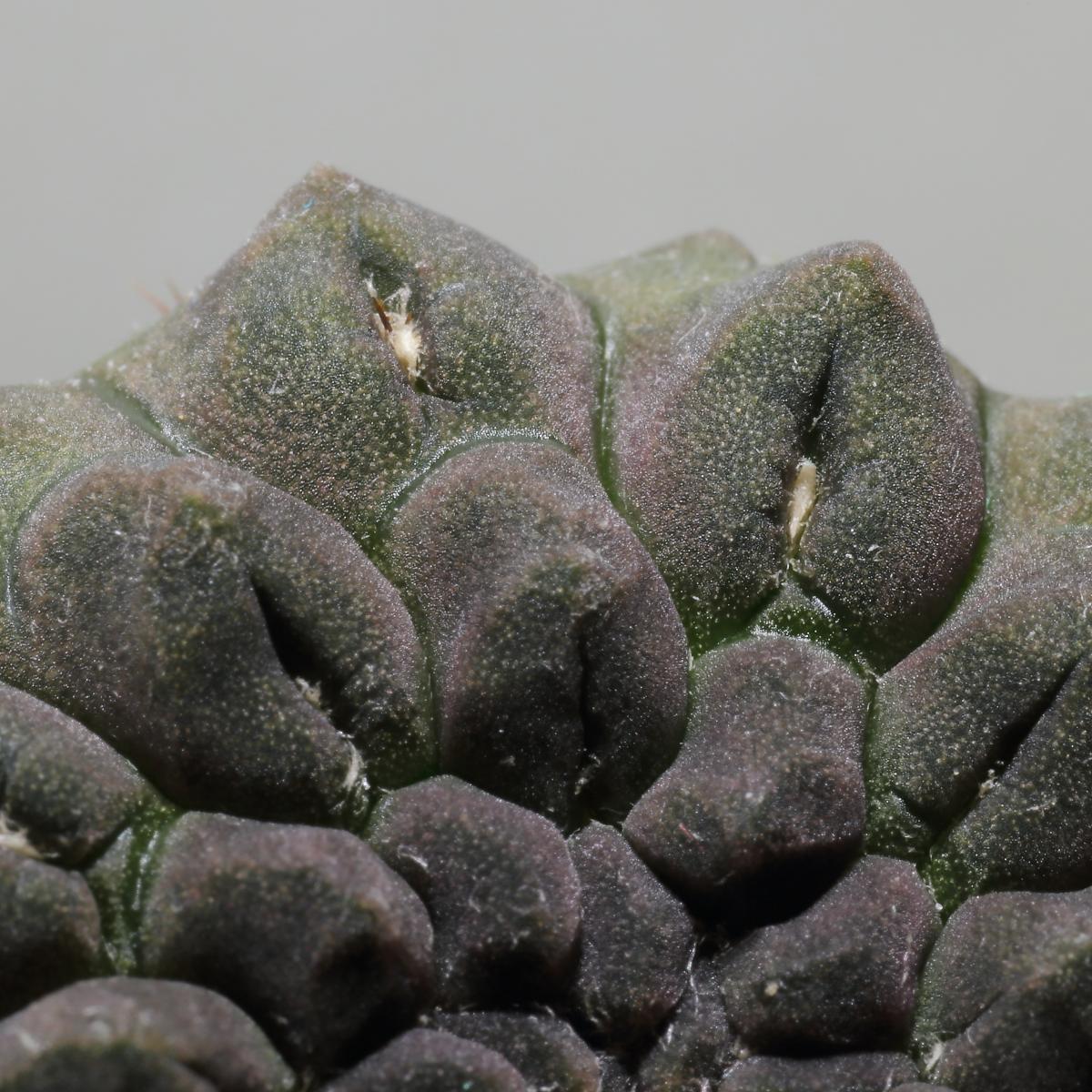 El Eriosyce occulta es un cactus pequeño