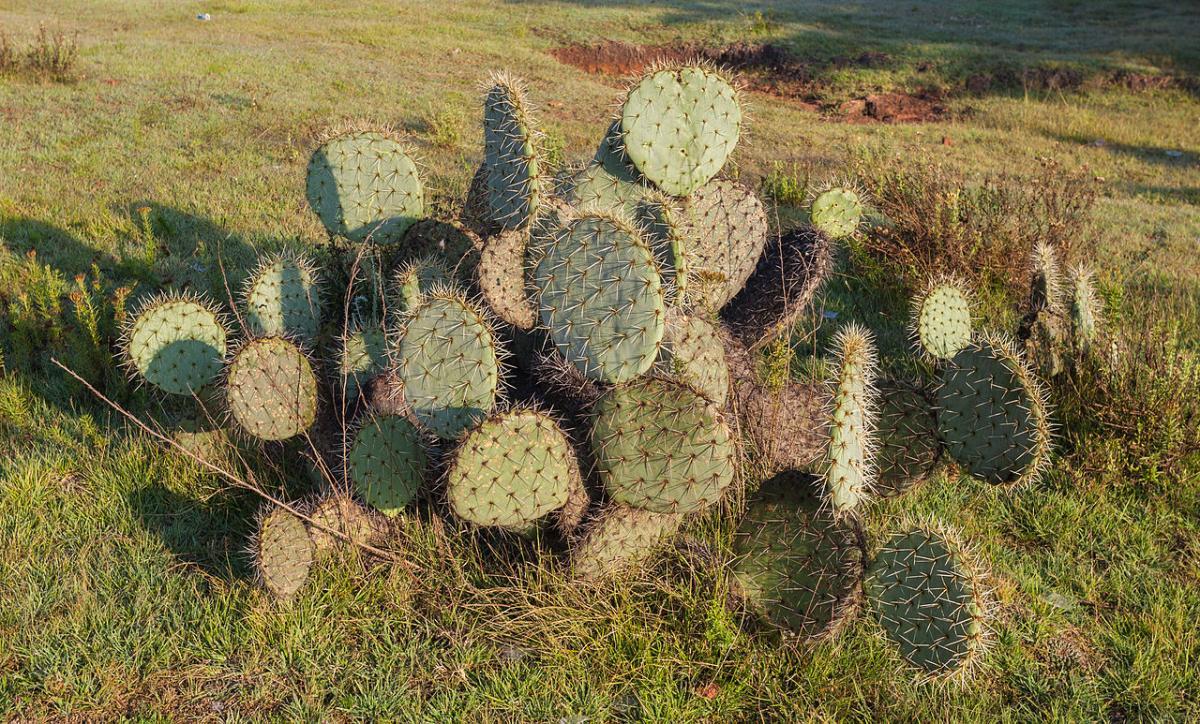 La chumbera es un cactus arbustivo