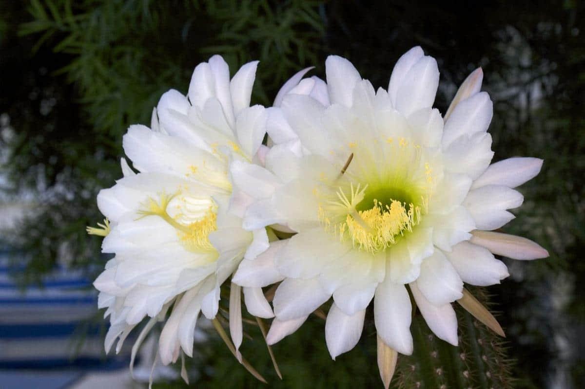 Las flores del Echinopsis spachiana son blancas y grandes