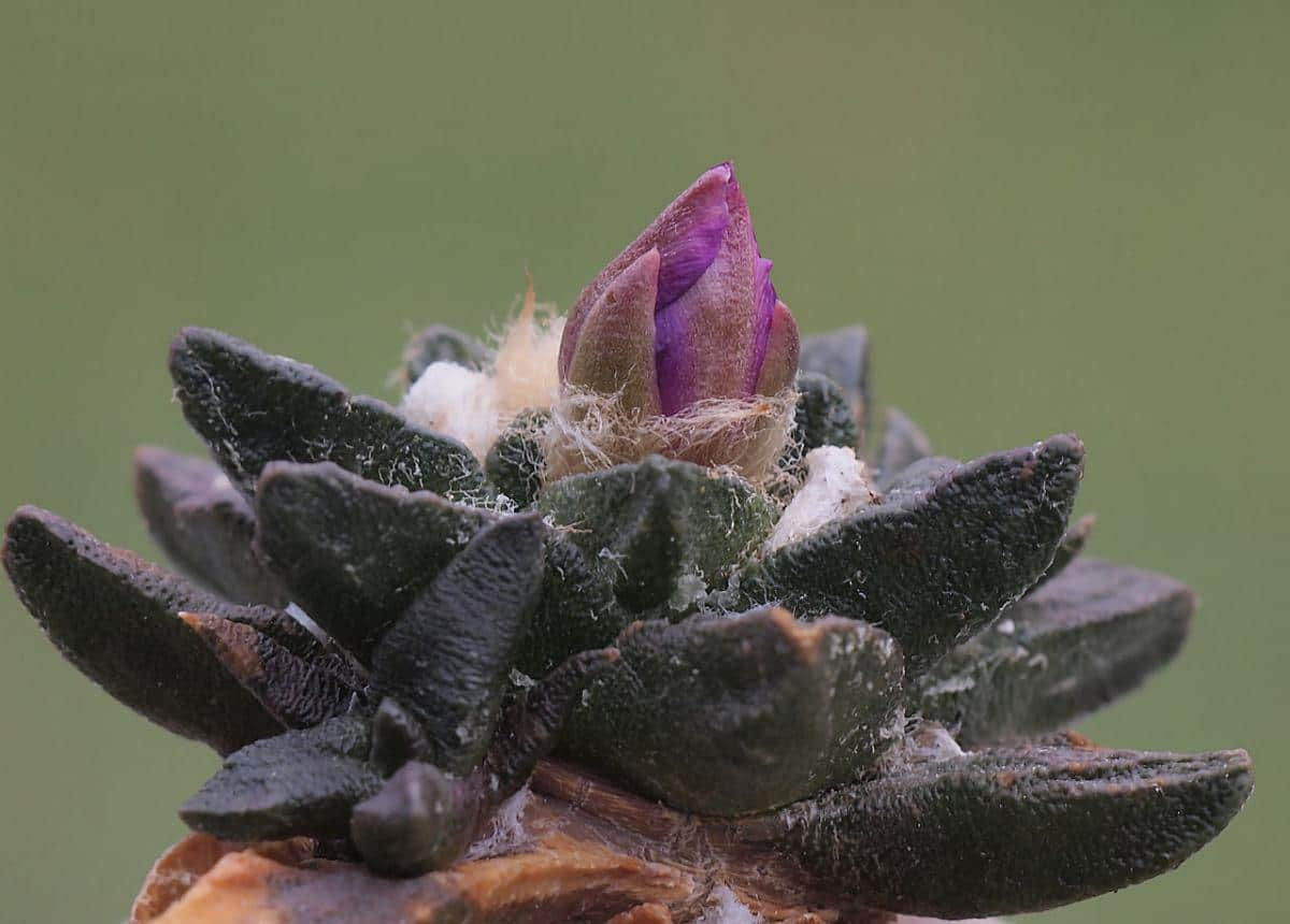 El Ariocarpus scapharostrus es uno de los más bonitos